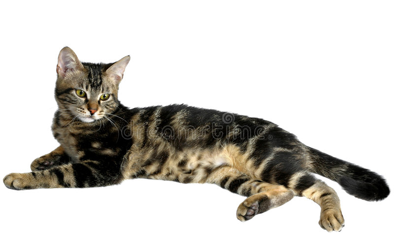 Tabby-Kätzchen II stockbild