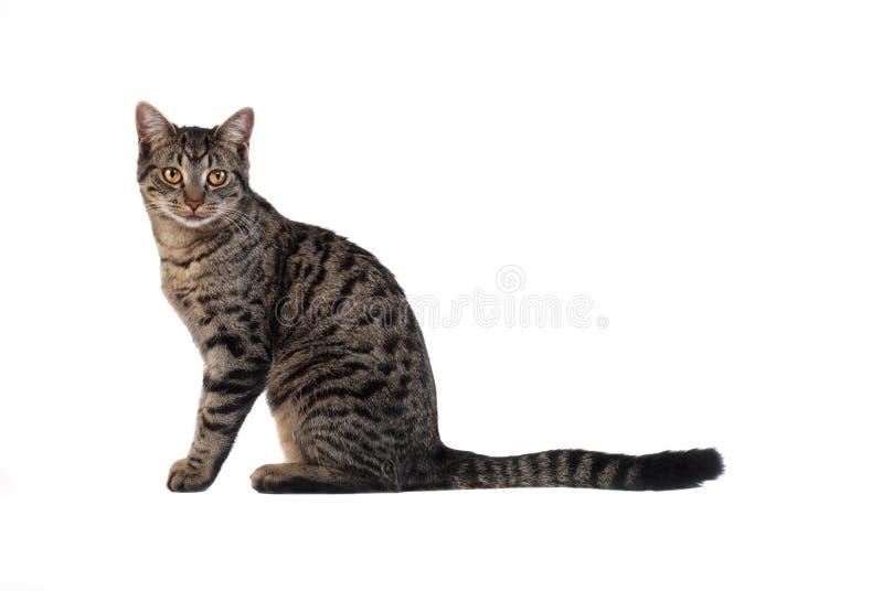 Tabby-Katze auf Weiß lizenzfreie stockbilder