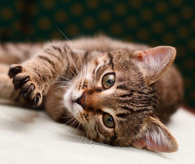 Tabby-Katze, die auf Seite legt lizenzfreie stockfotografie