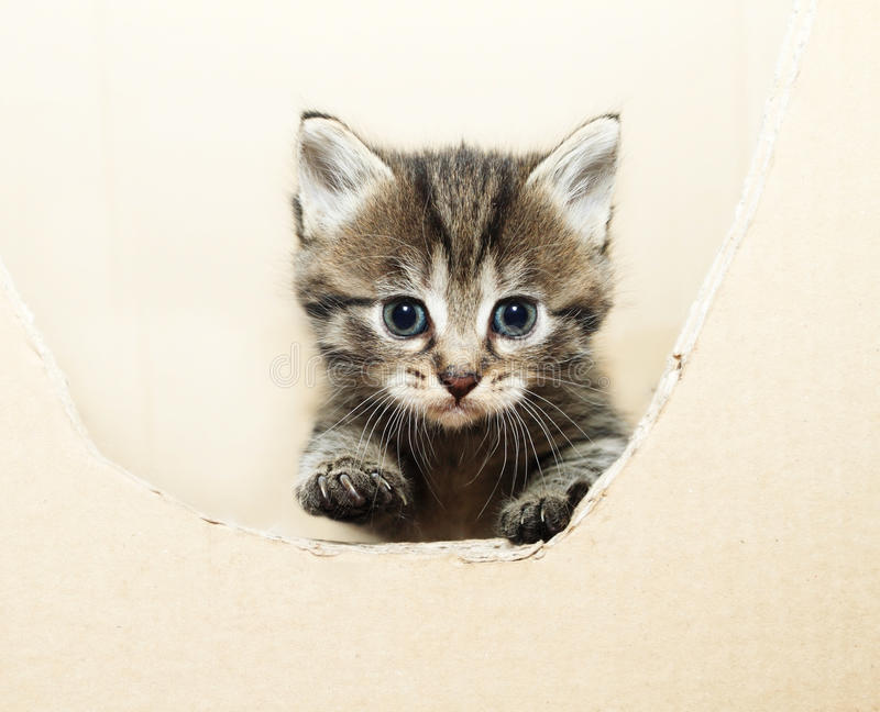 Tabby kitten. Peeking out of the box royalty free stock images