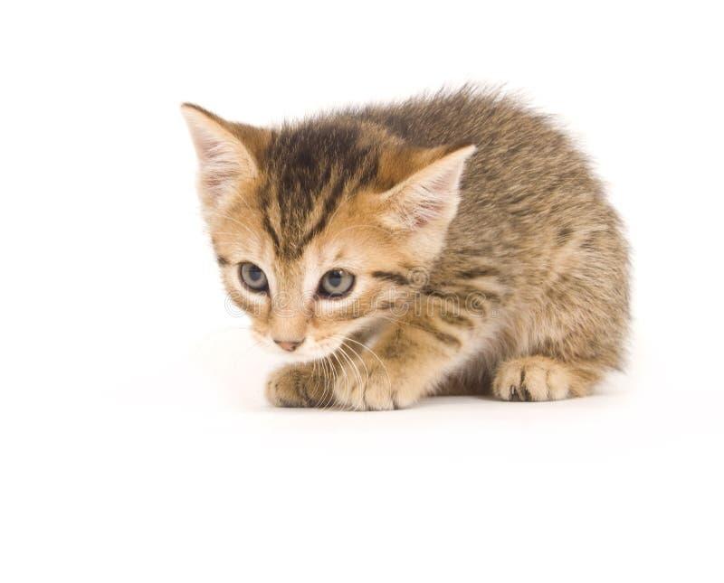 Tabby kitten royalty free stock photo
