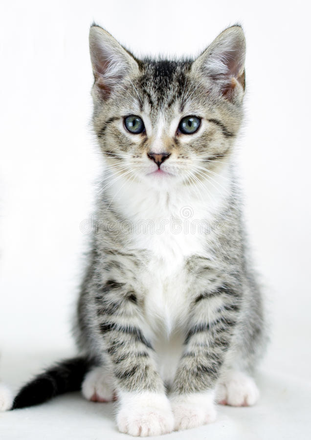 Tabby Kitten Adoption Foto lizenzfreie stockfotos