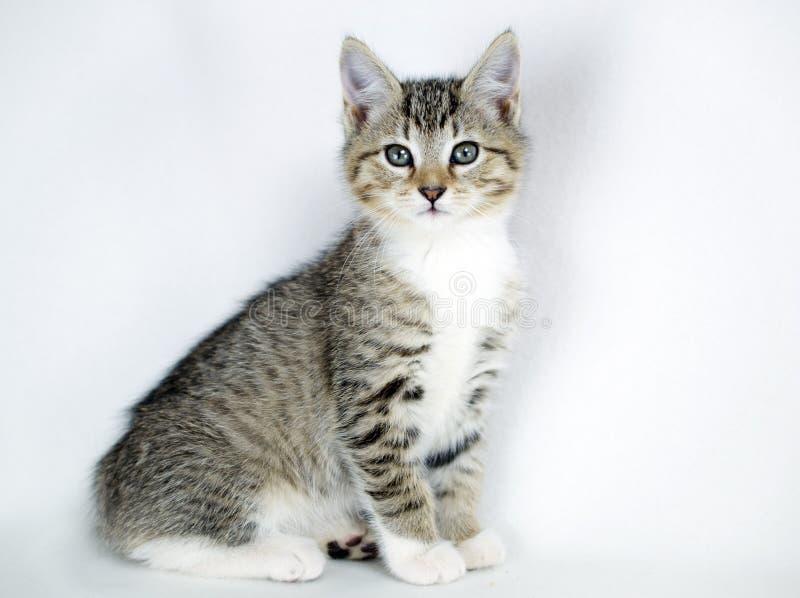 Tabby Kitten Adoption Foto lizenzfreie stockbilder