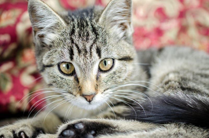 Tabby Kitten Adoption Foto stockfoto