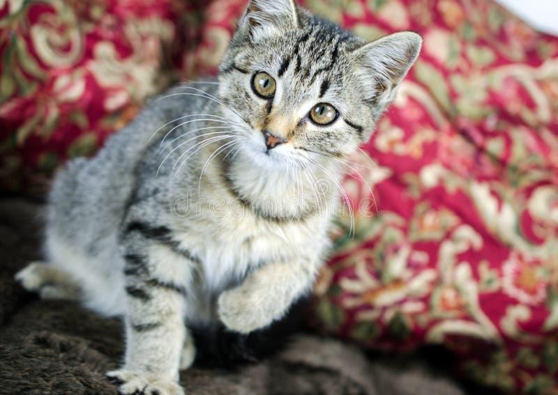 Tabby Kitten Adoption Foto lizenzfreies stockfoto