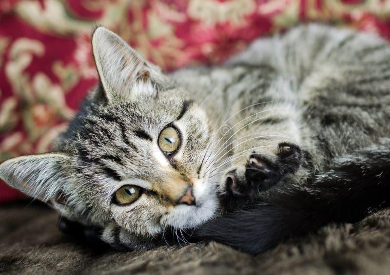 Tabby Kitten Adoption Foto lizenzfreie stockfotografie