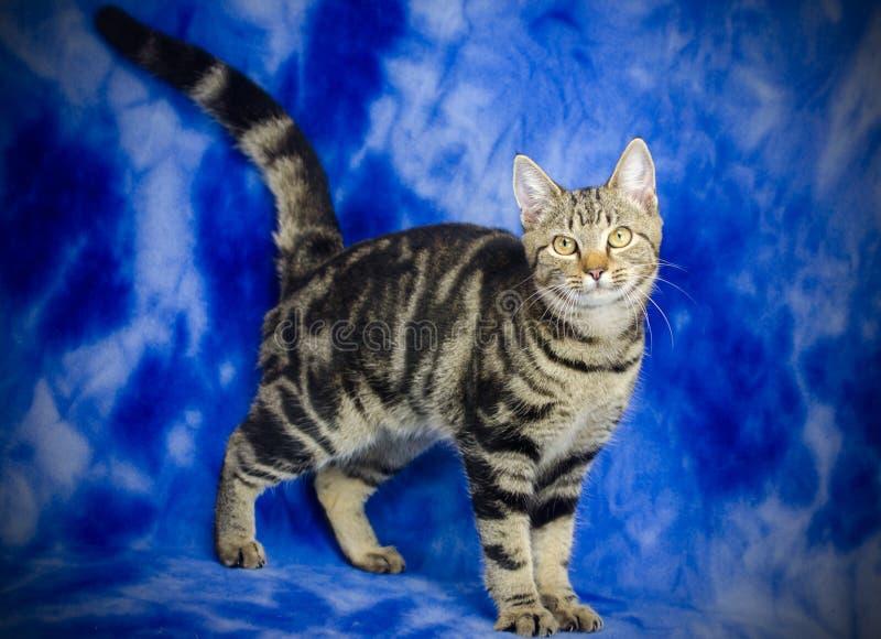 Tabby Kitten Adoption Foto stockfotos