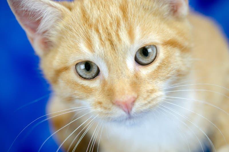 Tabby Kitten Adoption Photo Whiskers alaranjada imagem de stock