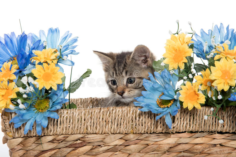Tabby kitten in basket with flowers stock images