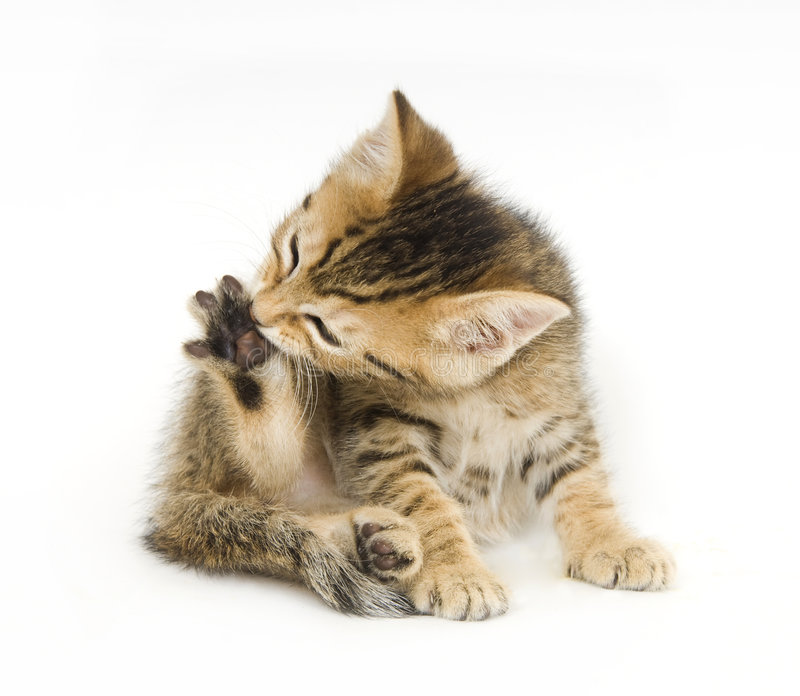Download Tabby kitten biting claws stock photo. Image of chew, whiskers - 2863222