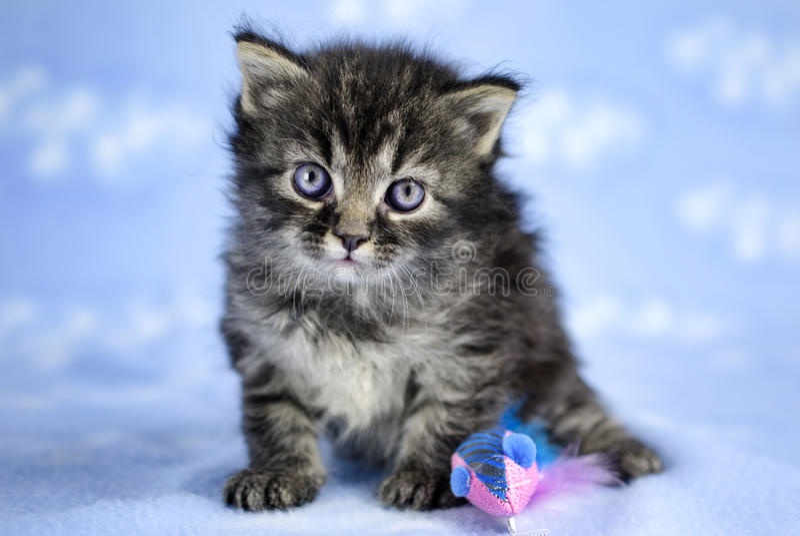 Tabby Kitten com olhos azuis fotografia de stock