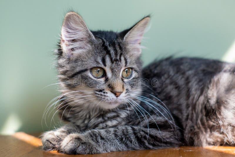 Tabby Kitten dai capelli lunghi immagini stock