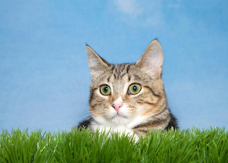 Tabby kitten in green grass. Close up portrait of a brown and tan stripped tabby kitten laying in green grass looking to viewers left. Blue background stock images