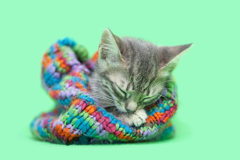 Sleeping Gray tabby kitten staying warm in a colorful green striped snow hat stock photography