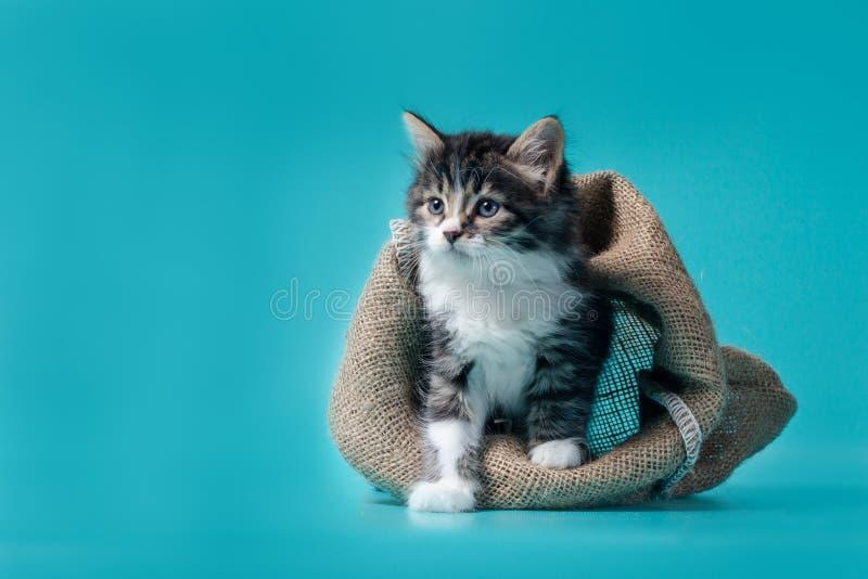 Tabby kitten komt uit de zak op een turkooise achtergrond royalty-vrije stock afbeelding