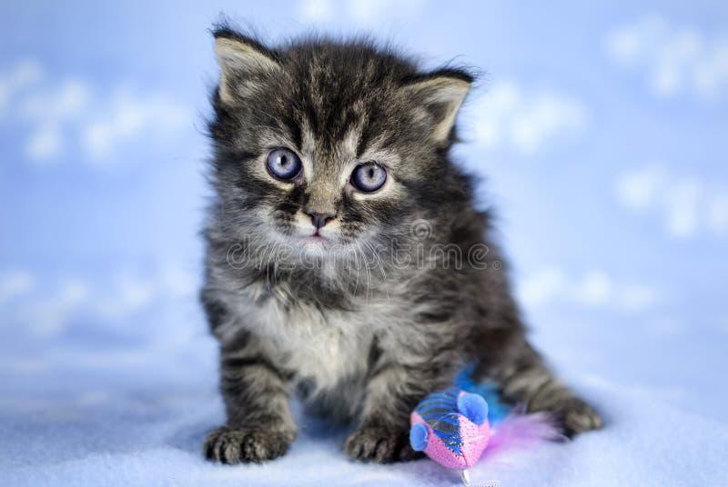 Tabby Kitten mit blauen Augen stockfotografie