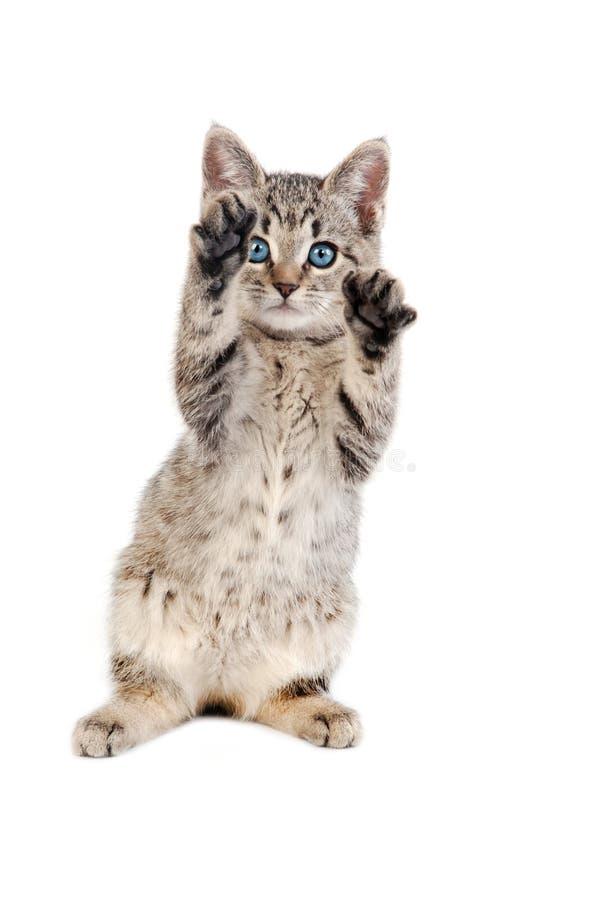 Tabby Kitten osservata blu con le zampe su fotografia stock libera da diritti