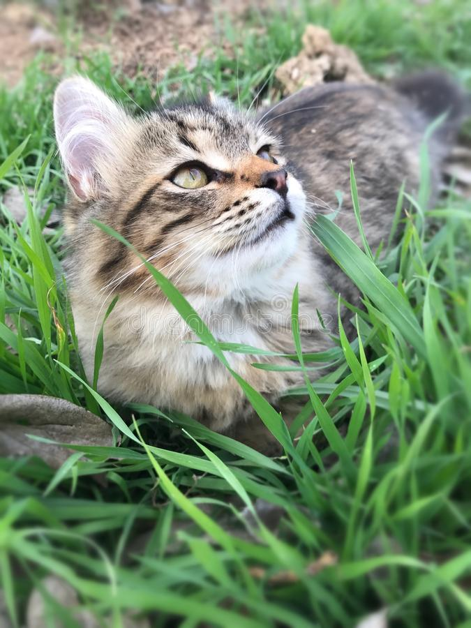 Tabby kitten playing in the grass royalty free stock images