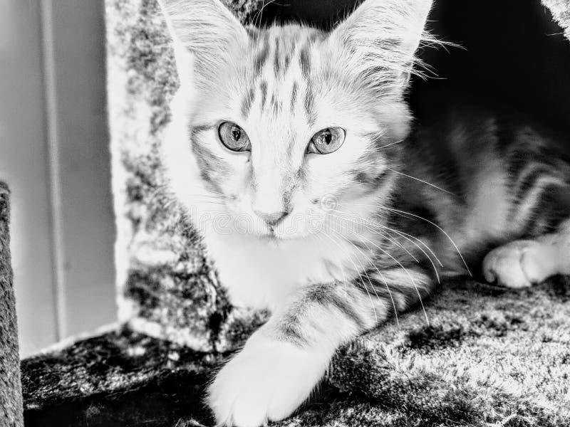 Tabby Kitten Resting lindo foto de stock
