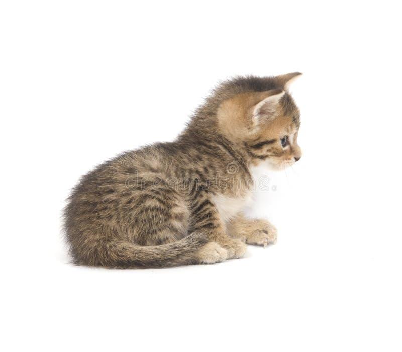 Tabby kitten resting on white background royalty free stock photos