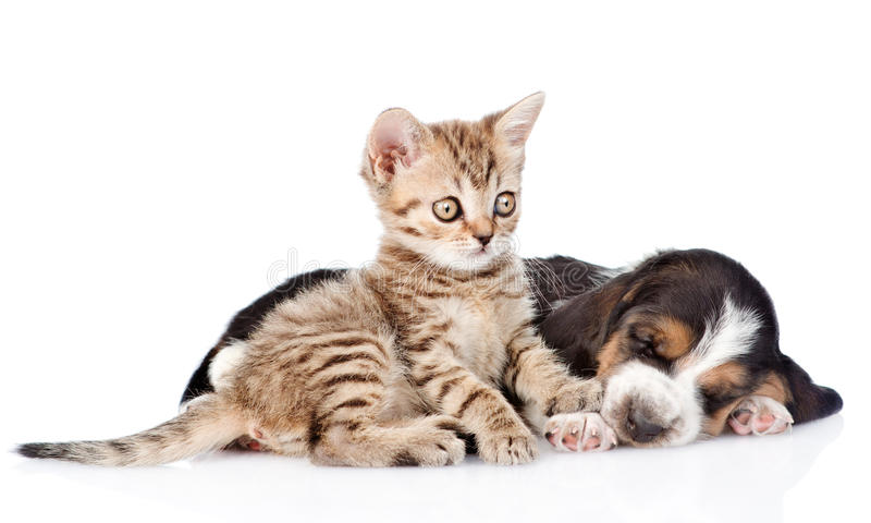 Tabby kitten and sleeping basset hound puppy lying together. iso stock photography