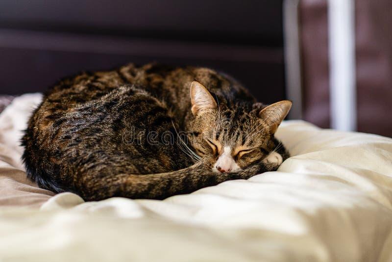 Tabby Kitten sonolento em um cobertor grosso fotos de stock royalty free