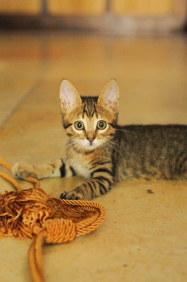 Tabby Kitten sorpresa con la corda della tenda fotografia stock libera da diritti
