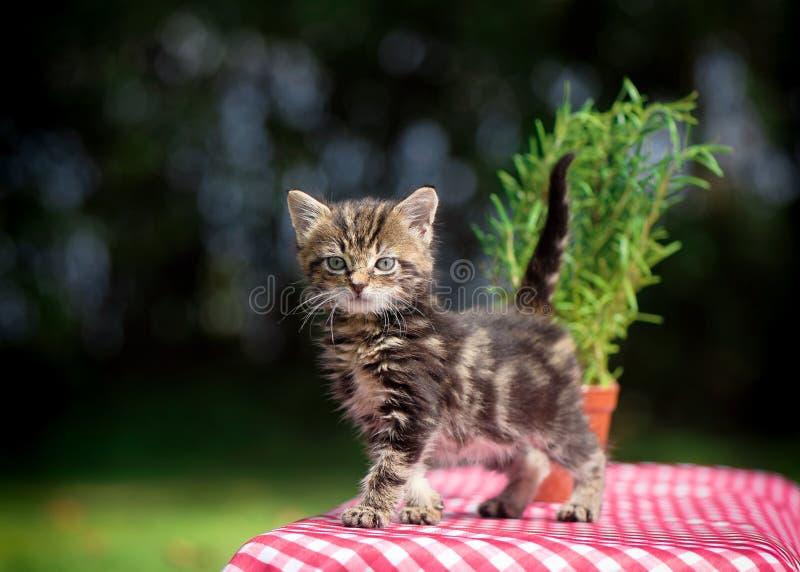 Tabby Kitten sulla Tabella di picnic fotografia stock