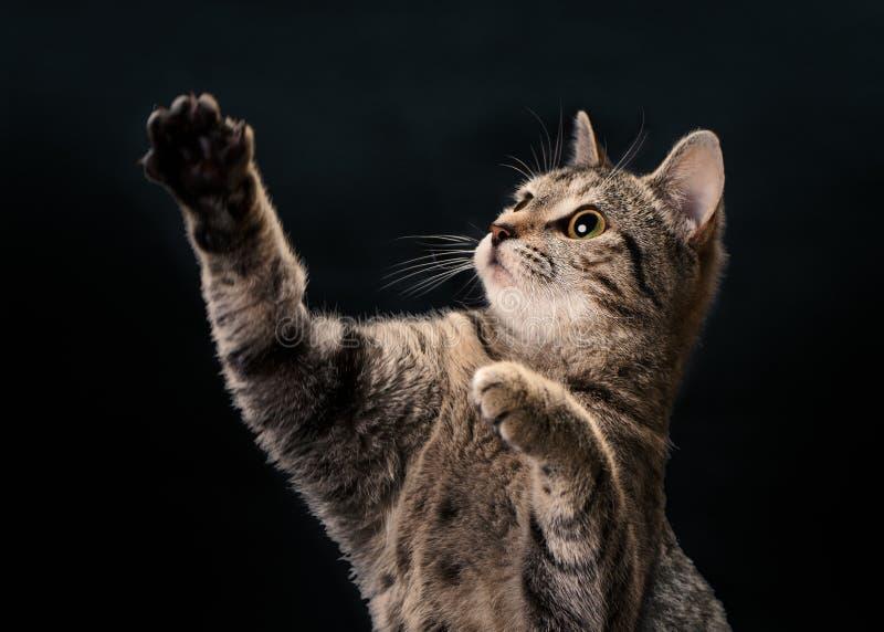 Tabby Kitten Waving royaltyfria bilder