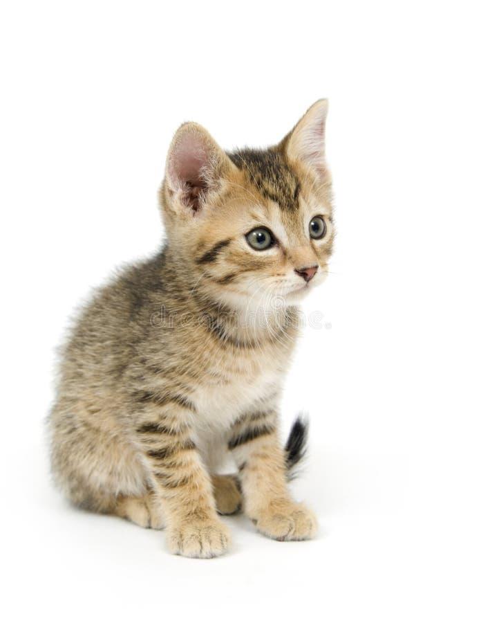 Tabby kitten on white stock image