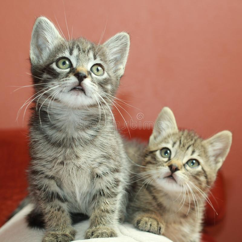 Tabby Kittens arkivbild