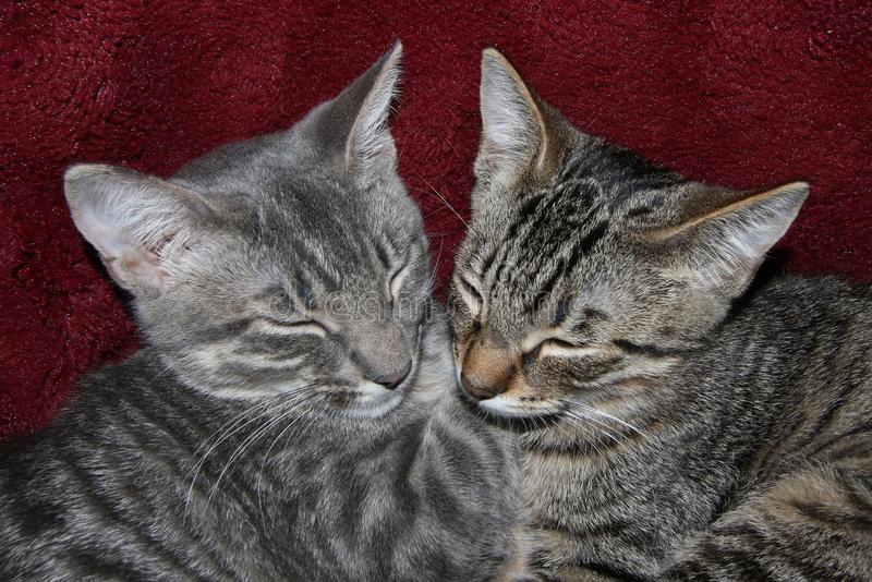 Tabby Kittens Sleeping fotografie stock