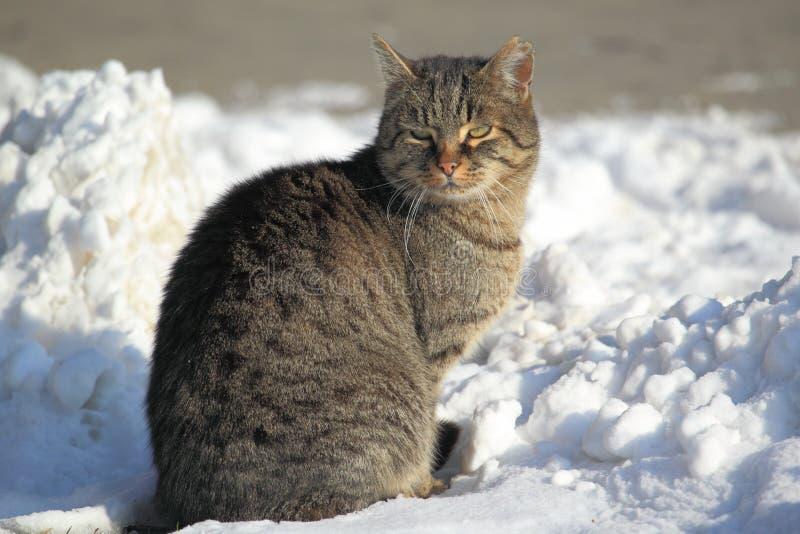 Download Tabby kot obraz stock. Obraz złożonej z zima, śnieg, natura - 28556325