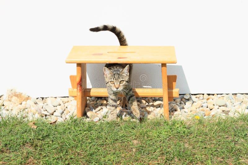 Tabby kot - ciekawa figlarka zdjęcie stock