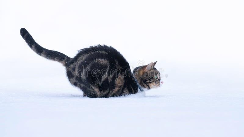 Tabby kot Odskakuje w śniegu fotografia royalty free