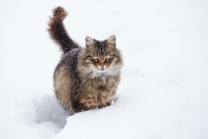 Tabby kot w śniegu obraz royalty free