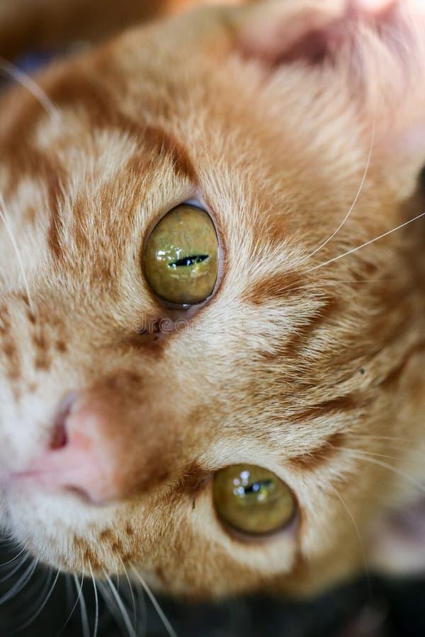 Tabby kot z żółtym okiem zdjęcia royalty free