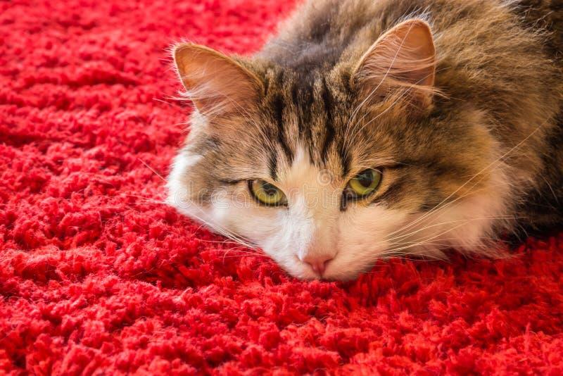 Tabby kota lying on the beach na czerwonym chodniku z kopii przestrzenią obrazy stock