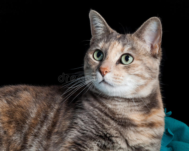 Tabby kota obsiadanie na Powszechny Patrzeć Zaskakujący obraz royalty free