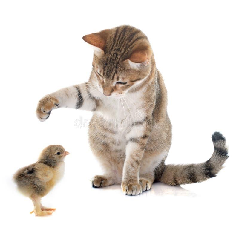 Tabby kurczątko i kot fotografia stock