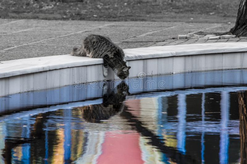 A tabby mackarel cat with long fur in an odd life drinks water from a pool of life. royalty free stock photo