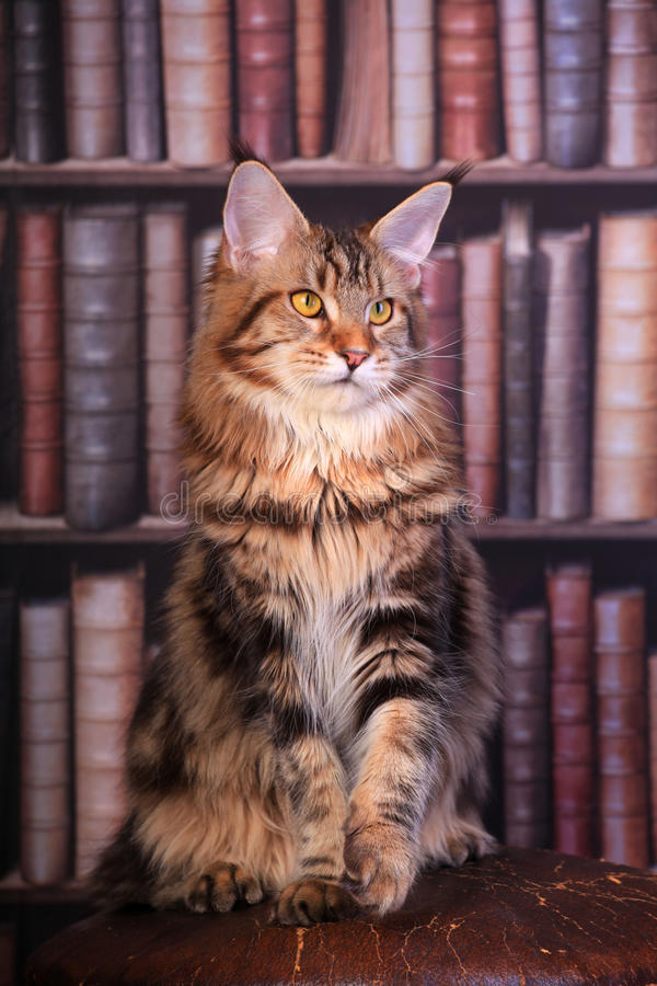 Tabby Maine Coon katt arkivbilder