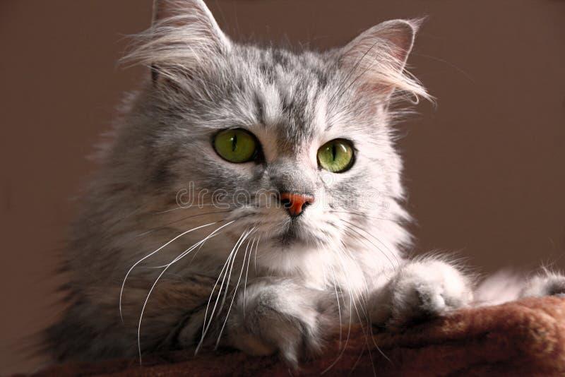 Tabby Maine Coon katt royaltyfria foton