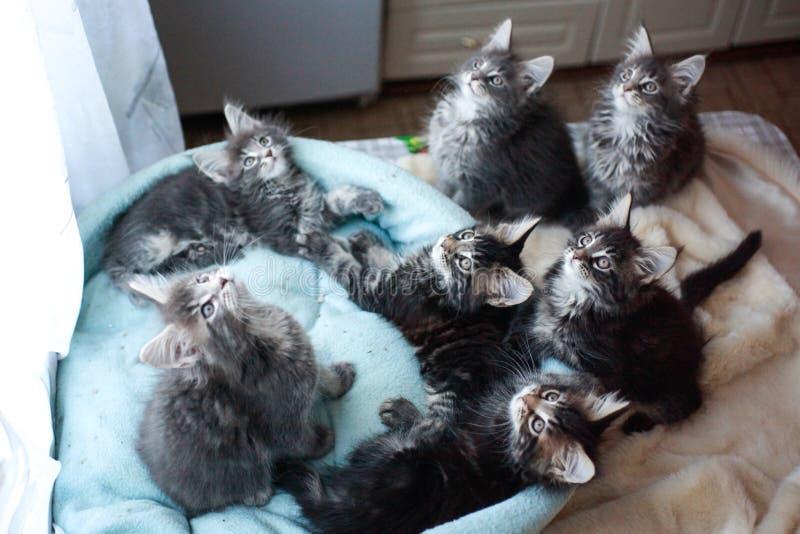 Tabby Maine Coon kattungar slösar och svärtar kulört ligga i en soffa för blått för katt` s arkivbild