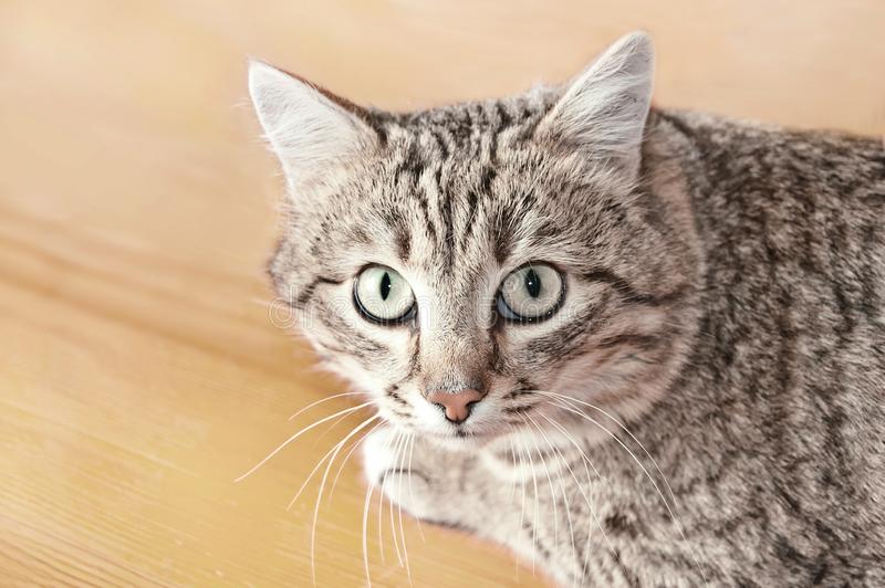 Tabby male cat looking with distrust and a little scared. Cat looks into the lens. Portrait of Tabby cat on floor. Tabby male cat looking with distrust, warily royalty free stock photos