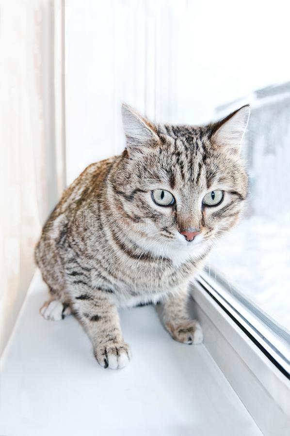 Tabby male cat looking with distrust, warily and a little scared. Cat looks into the lens. Portrait of Tabby cat in. Tabby male cat looking with distrust, warily stock image