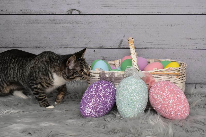 Tabby Manx Cat Easter Portrait stockbild