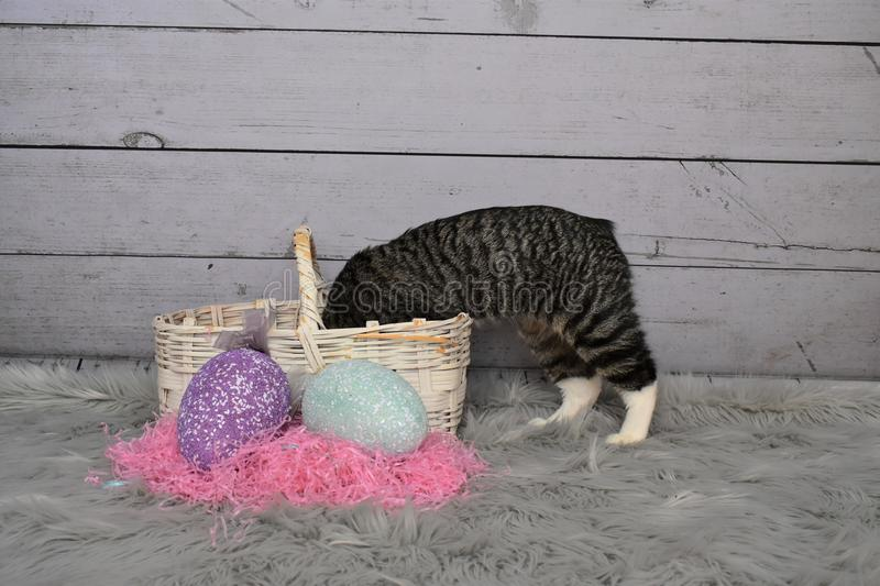 Tabby Manx Cat Easter Portrait stockfotografie