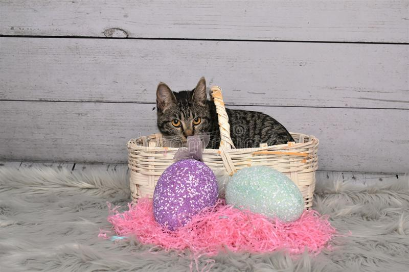 Tabby Manx Cat Easter Portrait stockfoto