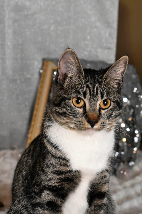 Tabby Manx Cat Portrait imagem de stock royalty free